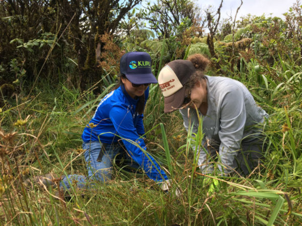 Pacific Resiliency Fellow Jhana Young (Hawaii) and Senior Program Manager Elia Herman (Kupu) removing invasives from Kaala.