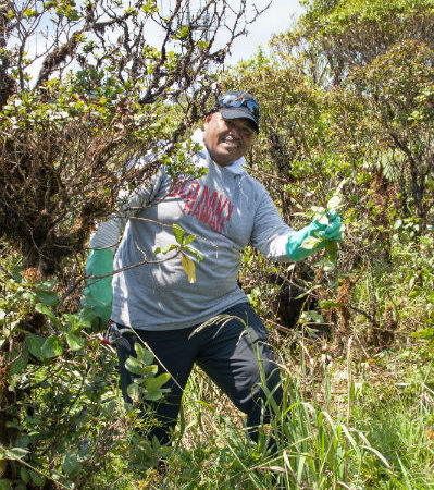 Fellow Mas Tkel (Palau) removing invasive blackberry from Ka'ala.